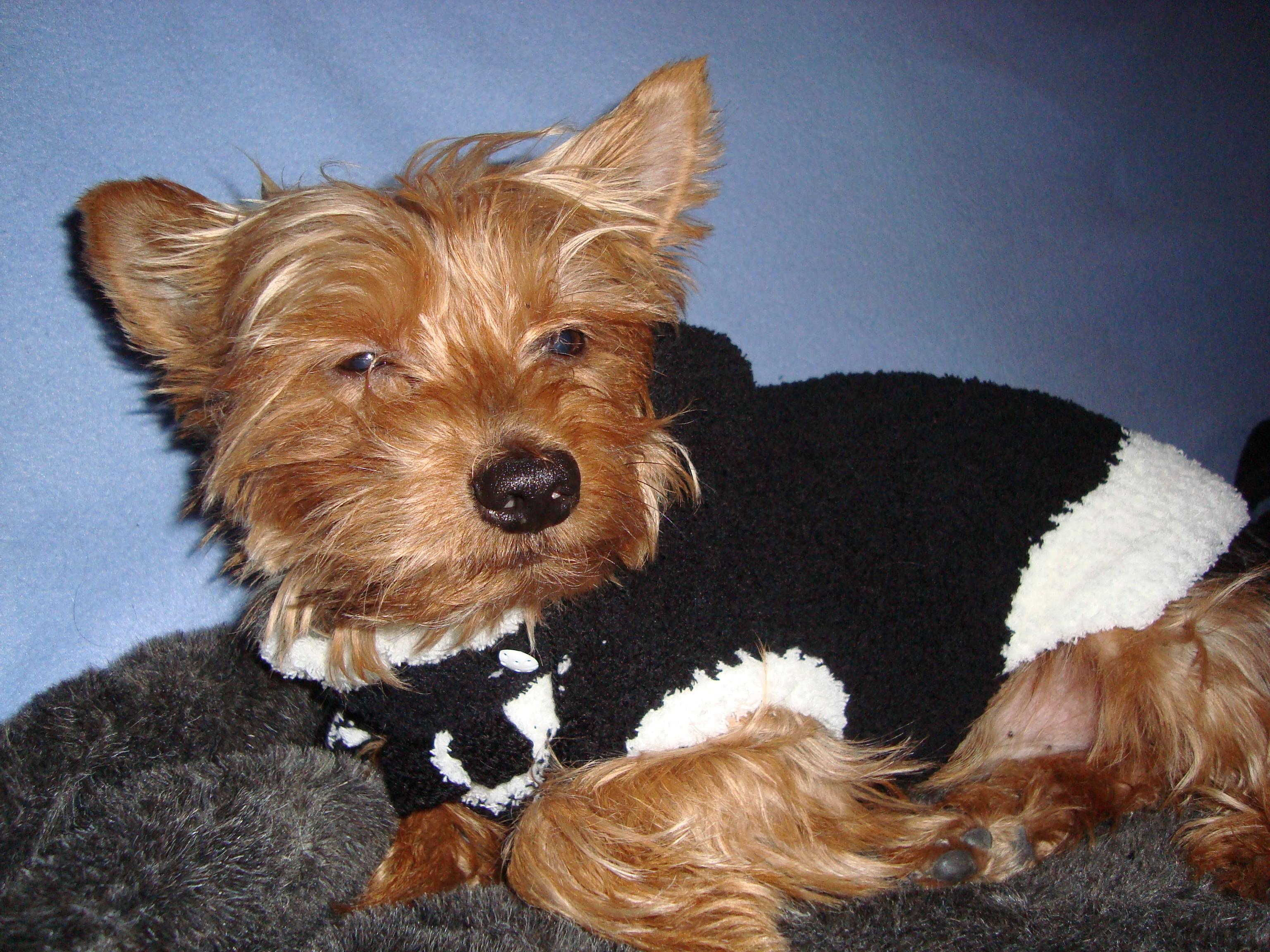 tricot chien gratuit