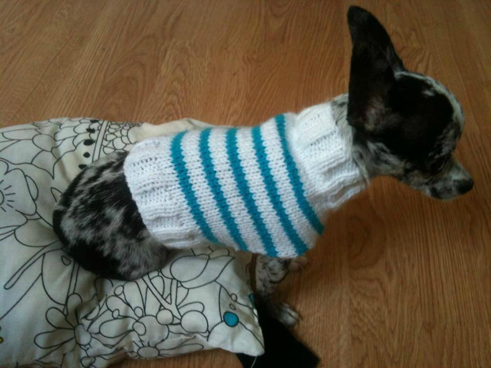 tricoter manteau chihuahua