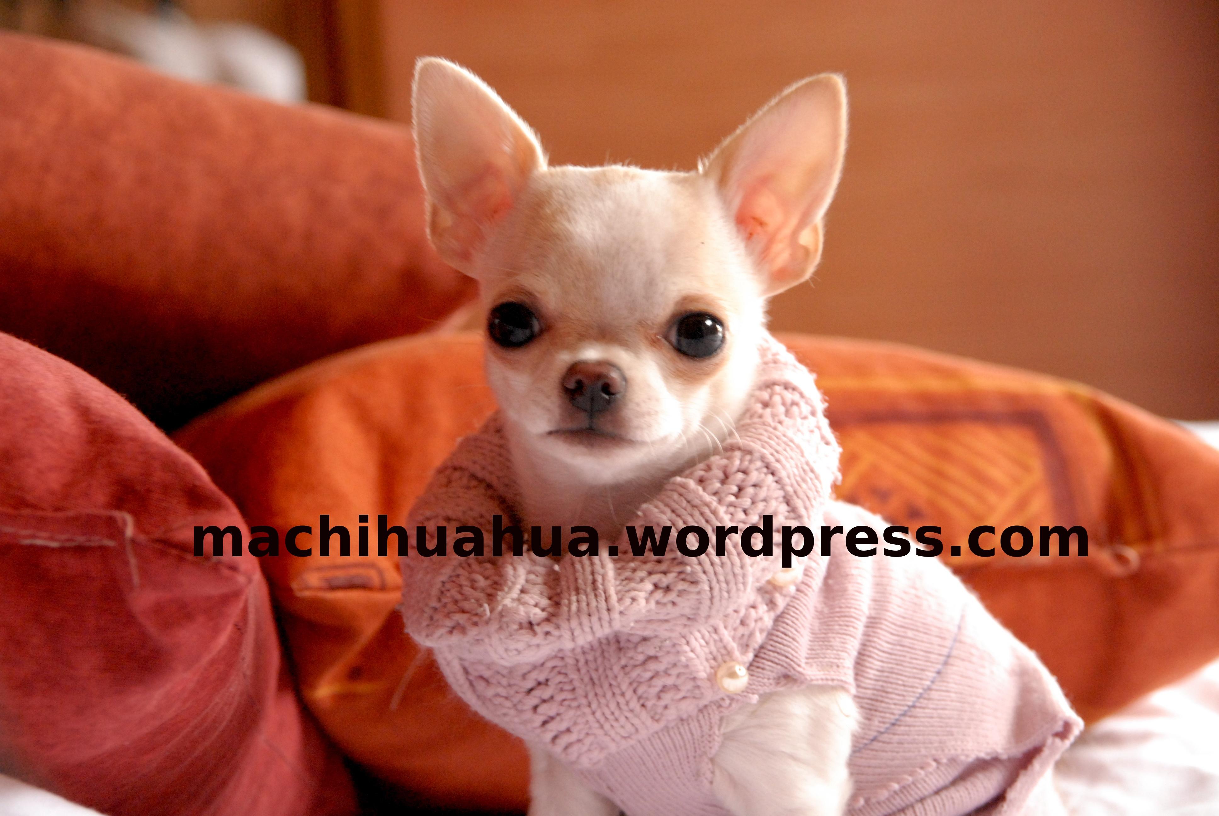 patron tricot manteau chihuahua